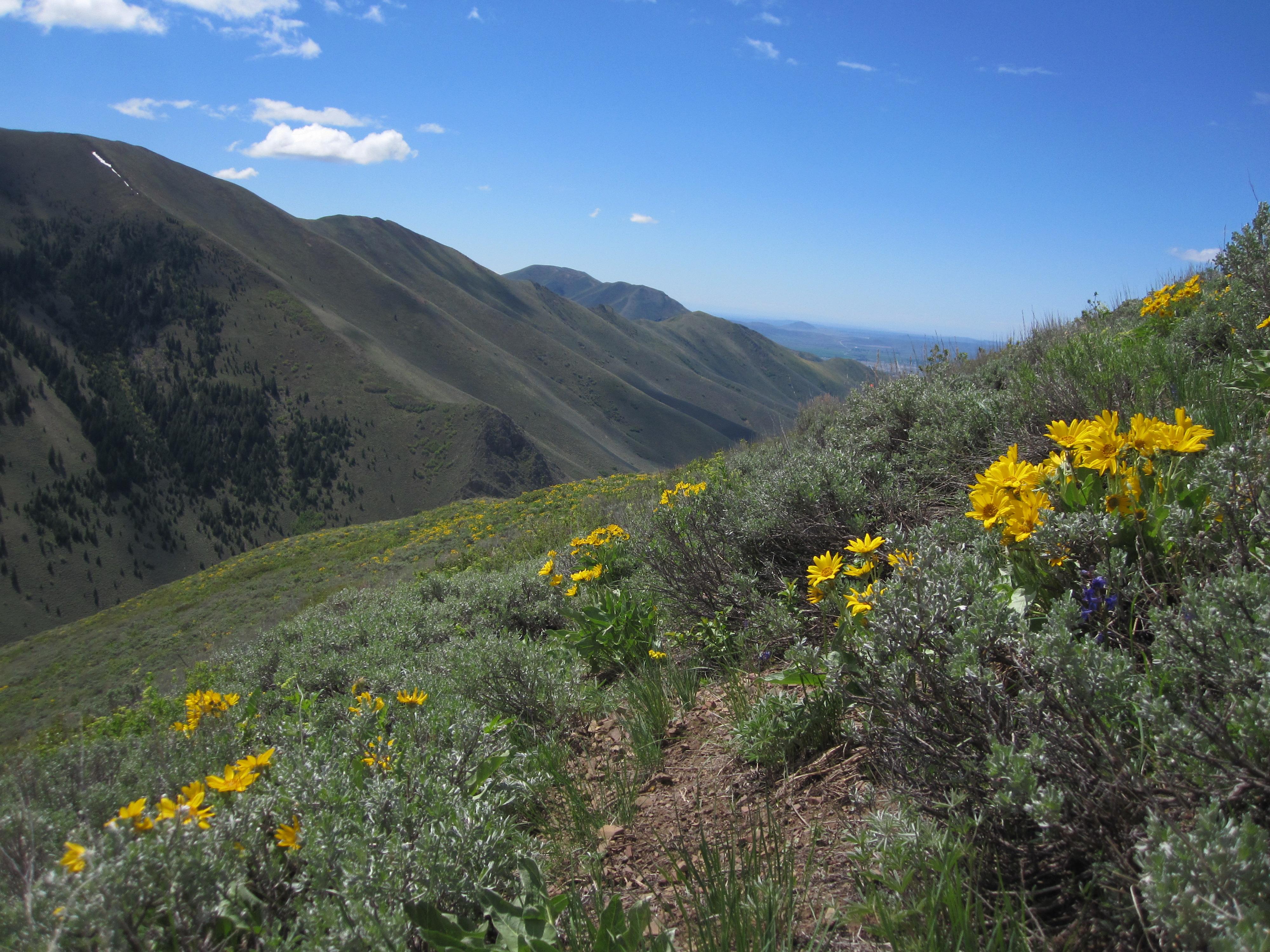 Arrowleaf Balsamroot is in bloom in parts of the valley.